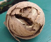Common Wasp Nest